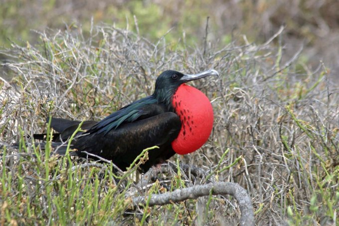 North_Seymour_Great_Frigatebird_w